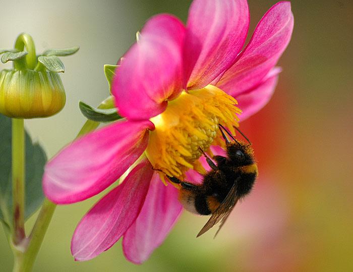 Фото шмеля на цветку